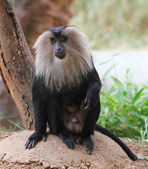 Endangered and threatened endemic monkey of india - lion-tailed — Stock Photo