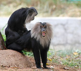 Endangered and threatened endemic monkey of india - lion-tailed — Stock Photo