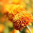 Beautiful orange chrysanthemum flowers & bokeh in the background — Stock Photo