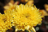 Beautiful bright yellow chrysanthemum flowers on contrasting bac — Stock Photo