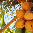 Stock Photo: Vivid yellow exotic coconuts bunch on a tropical palm tree on a