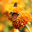 Monarch butterfly on orange chrysanthemum flowers & beautiful bo — Stock Photo