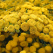 Closeup of beautiful Tansy(Tanacetum vulgare) flowers bunch — Foto Stock