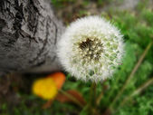 Beautiful dandelion flower(Taraxacum officinale) macro photo — Stock Photo