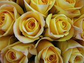 Closeup of beautiful bright yellow Rose(Rosa) flower buds. — Stock Photo