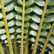 Closeup of beautiful leaves of Zululand Cycad (Encephalartos Fer — Stock Photo #29684481