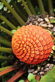 Beautiful fruits of blooming Zululand Cycad (Encephalartos Ferox — Stock Photo
