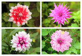 Dahlia or valley flowers collection set in different vibrant col — Stock Photo