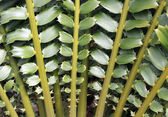 Closeup of beautiful leaves of Zululand Cycad (Encephalartos Fer — Stock Photo