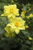 A pair of beautiful yellow hybrid dahlia flowers — Stock Photo