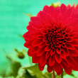 Dazzling red dahlia daisy flower with beautiful petals — Stock Photo