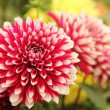 Beautiful red & white dahlia flower on green yellow backdrop — Stock Photo