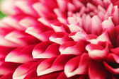 Abstract photo of pink dahlia flower closeup(macro). — Stock Photo