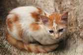Lovely young cat(kitten) with golden white fur sitting relaxed. — Stok fotoğraf