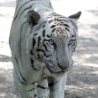 White royal bengal tiger at a zoo looking ferociously — Stock Photo