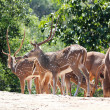 Stock Photo: Axis deer(spotted deer) & sambar deer(Philippine deer) in fore