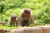 Mother rhesus monkey giving lessons(teaching) to her child — Stock Photo