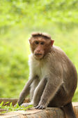 Adult indian rhesus macaque monkey(macaca mulatta) looking at th — Stock Photo