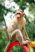 Indian rhesus macaque monkey (macaca mulatta) with funny face — Stockfoto