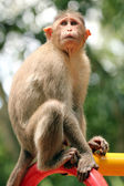Indian rhesus macaque monkey (macaca mulatta) in a park — Stock Photo