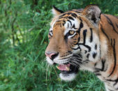 Face of majestic white royal bengal tiger looking for prey — Stock Photo