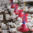 Poultry farm with young white chicken being bred for meat — Foto de Stock