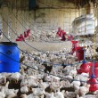 Stock Photo: Rural poultry farm with young white chicks bred for chicken meat