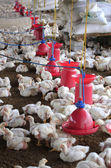 Poultry farm with young white chicken being bred for meat — Stockfoto