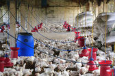 Rural poultry farm with young white chicks bred for chicken meat — 图库照片