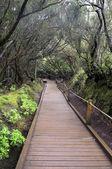 Laurel forest. Anaga.Tenerife — Stock Photo