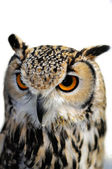 Eagle Owl, Bubo bubo, isolated on white background — Stock Photo