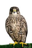 A Peregrine Falcon poses for the camera — Stock Photo