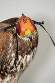 Hooded falcon. Falconry — Stock Photo