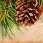 Vintage pine branch — Stock Photo