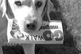 Labrador dog — Stock Photo