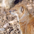 Royalty-Free Stock Photo: Mongoose