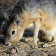 Mara mammal  Dolichotis patagonum — Stock Photo