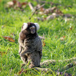 Stock Photo: Marmoset