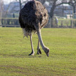 Stock Photo: Ostritch