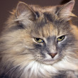 Stunning long haired cat — Stock Photo
