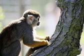 Squirrel monkey — Стоковое фото