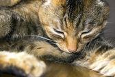 Gato tigrado — Fotografia Stock