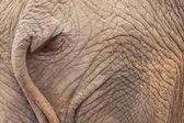 Elephant ass — Stock Photo