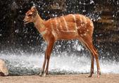 African deer — Stock Photo