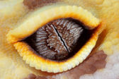 Leopard gecko eye — Photo