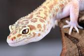 Leopard Gecko — Stockfoto