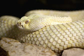 Photograph of a dangerous and poisonous Crotalus albino — Stock Photo