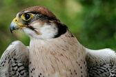 Falco biarmicus — Стоковое фото