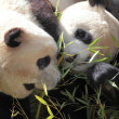 Stock Photo: Picture of two beautiful pandas eating bamboo