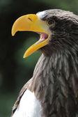 Porträt einer schönen Haliaeetus Pelagicus den Mund zu öffnen — Stockfoto